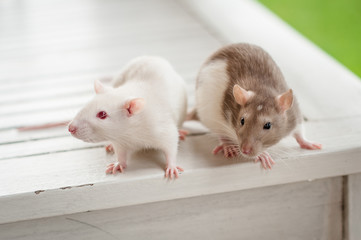 Small domestic rats crawl on different surfaces