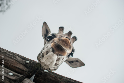 Photo  Giraffe at the zoo with his head hanging over a wooden fence