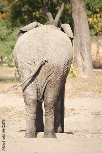 Obraz Tył słonia - fototapety do salonu