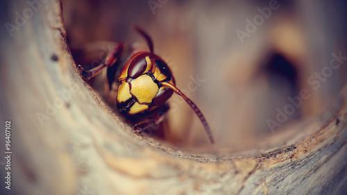 Fényképezés Portrait of a big wasp - a hornet