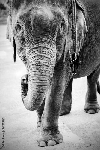 Fototapeta  portrait of an elephant obraz na płótnie
