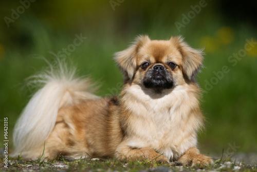 Fotografie, Obraz  Tibetan Spaniel dog outdoors in nature