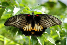 Great Mormon Butterfly On Plant