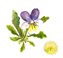 Watercolor Painted Violets, Vector