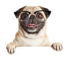 Pug Dog With Blank Billboard. ...