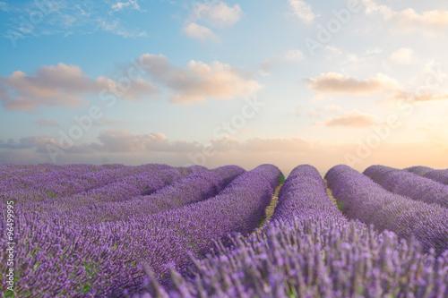 Photo  Blooming Lavender field