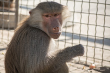 Hamadryad Baboon Monkey Sitting In The Zoo Cage
