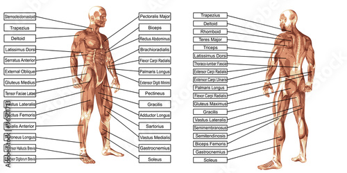 Vector 3D man muscle anatomy with text isolated Canvas Print
