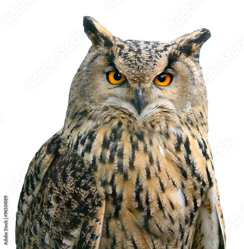 Deurstickers Uil A Eurasian Eagle Owl. Portrait. Bird isolated on white