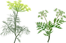 Green Dill And Celery Isolated On White