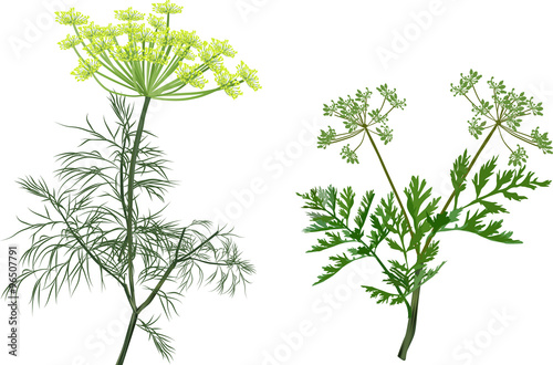 Fotografía green dill and celery isolated on white