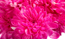 Beautiful Magenta Chrysanthemum