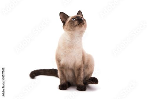 Fotografía  Gato siames