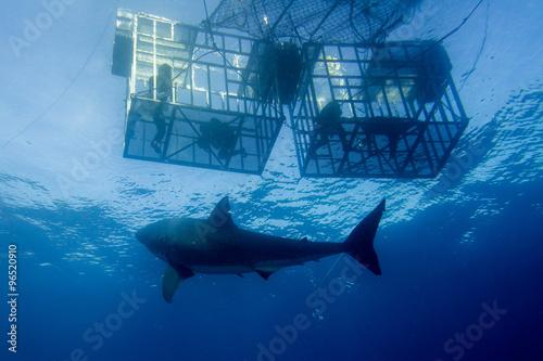 Fotografia Wielki biały rekin gotowy do ataku