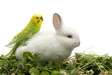 Budgerigar Sitting On White Rabbit Isolated On White