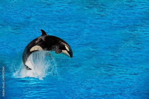 Fotografie, Obraz  Orca kosatka při skákání