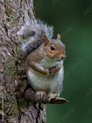 Fotomural  Squirrel in tree