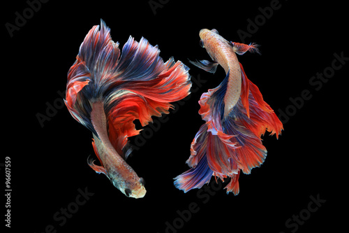 Dual betta fish isolated on black background Canvas Print