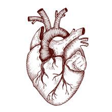 Anatomical Heart - Vector Vintage Style Detailed Illustration, Human Organ