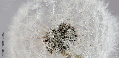 dandelion-z-kropli-wody-abstrakcyjne-tlo