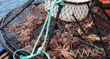 Opilio Crab Caught In A Trap O...