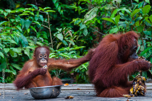 In de dag Aap Baby Orang Utan sitting in a bowl and his mother, Indonesia