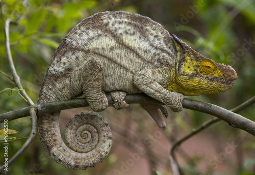 Recess Fitting Chameleon Chameleon sitting on a branch. Madagascar. An excellent illustration. Close-up.