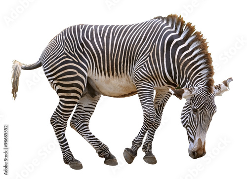 Tuinposter Zebra Isolated zebra of Grevy