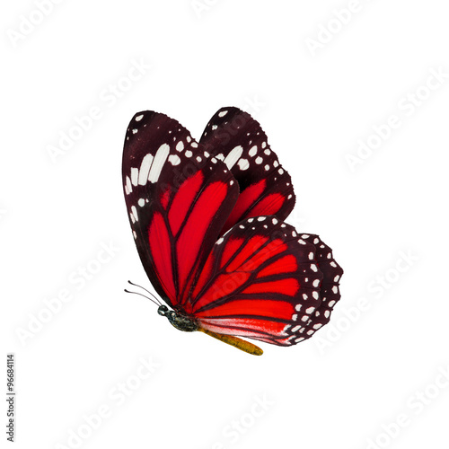Poster Vlinder common tiger butterfly , Danaus Genutia , monarch butterfly isol