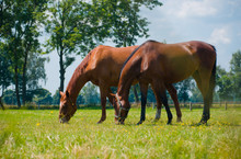 Horses Eating Grass On Paddock In Sunny Summer Day