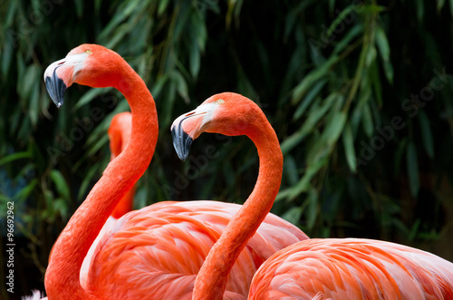 Pair of beautiful pink flamingos looking up #96692962