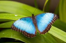 Big Butterfly Blue Morpho, Mor...