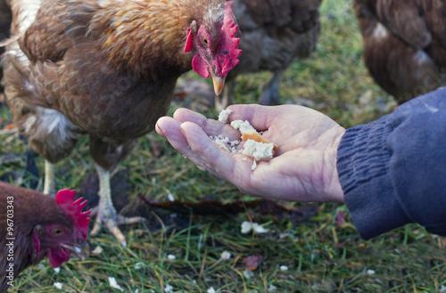 Feeding Chicken Wallpaper Mural
