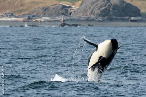 Fotografie, Obraz  Wild Female Killer Whale Breaching