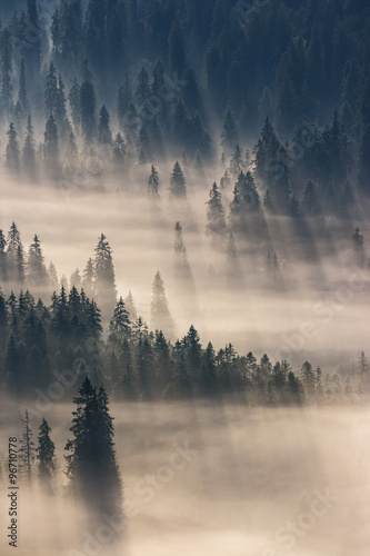 Poster Morning with fog coniferous forest in foggy mountains