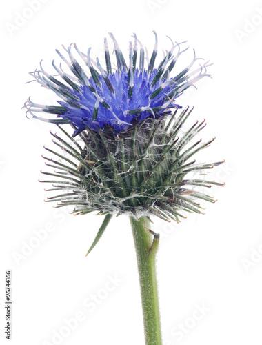 Canvas Print blue burdock single flower isolated on white