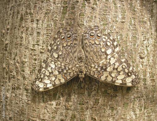 Fotografía  Tarnung eines Schmetterlings auf Baumstamm