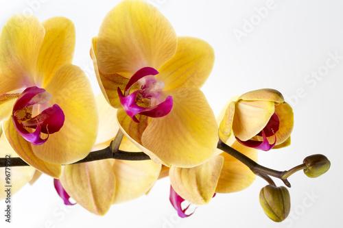 piekna-zolta-orchidea-na-bialym-tle