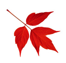 Red Acer Negundo Leaf Isolated On White