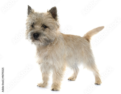 Foto purebred cairn terrier