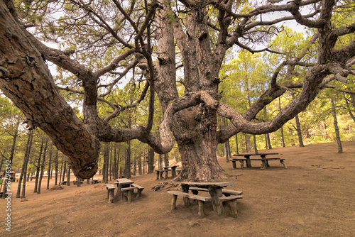 Tuinposter Canarische Eilanden Giant Canary pine at the picnic area on El Hierro island - Canary islands - Spain