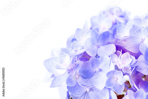 sweet purple blue hydrangea flowers on a white background