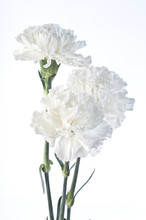 White Carnations's Bouquet