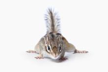 Wild Life. Chipmunk Isolated On White Background