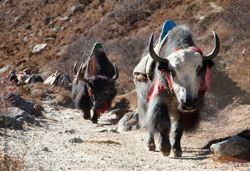 Caravan of yaks going to Everest base camp #96862578