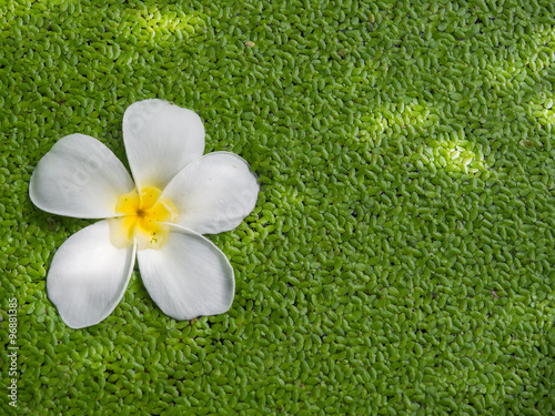 Keuken foto achterwand Spa White color of Plumeria flower floating on Duckweeds with shadow of tree.