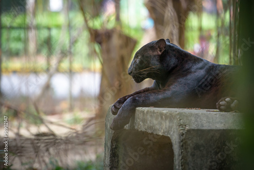 In de dag Panter Black panther resting
