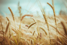 Beauty Golden Wheat Field And Sunny Day