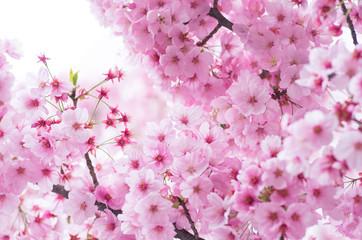 Fototapeta japanese cherry blossoms SAKURA