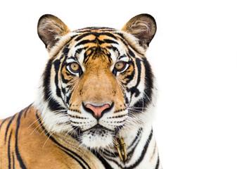 Mladi tigar izoliran na bijeloj pozadini